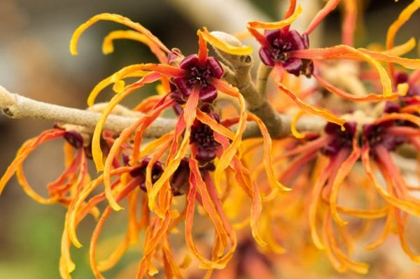 witch-hazel-benefits-1 (1)